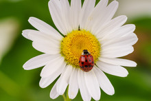Red Lady Bug On A Daisy