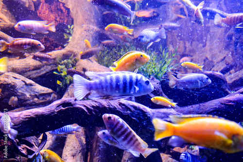 fototapeta na lodówkę Acquarium Full of Beautiful Tropical Fishes