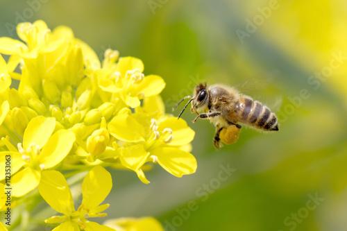 Staande foto Bee Honey Bee Pollinating