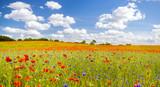 Fototapeta Papavers - wiosenna łąka pokryta kwitnącymi makami i chabrami