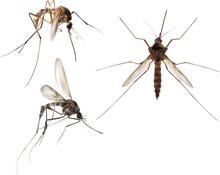 Illustration With Three Brown Mosquito