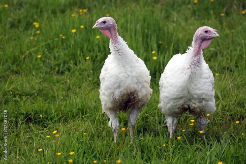 Junge weiße männliche Puten im Gras in Freilandhaltung
