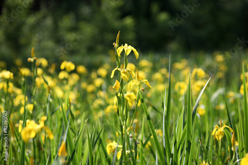 Blooming Iris pseudacorus