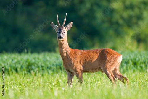 Staande foto Hert Wild roe deer
