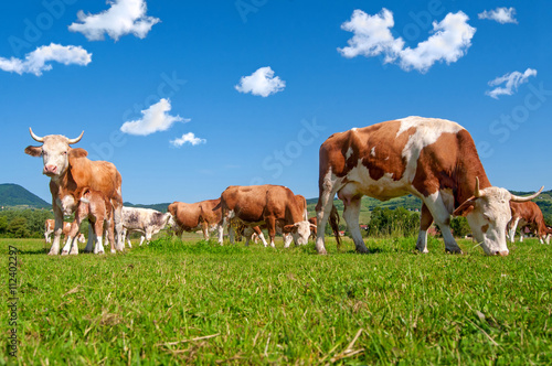 Fotobehang Koe Cow herd in a field