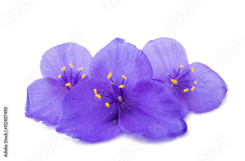 Papiers peints Pansies Tradescantia isolated