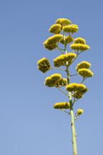 Agave (Agave Americana) Flower Against Blue Sky
