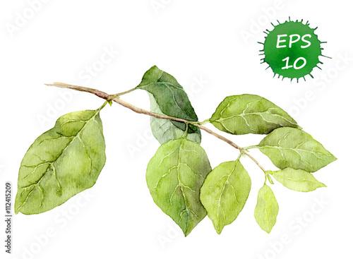 Foto  Green leaves on branch. Watercolor botanical illustration