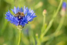 Honigbiene (Apis Mellifera) Au...