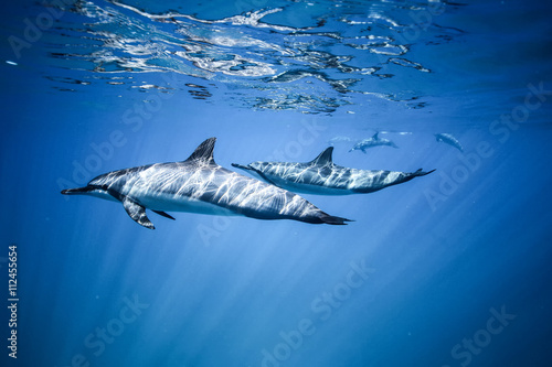 Photo sur Aluminium Dauphin Two dolphins swim near the ocean surface. Photo underwater
