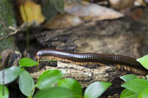 Fényképezés Seychelles Giant Millipede, La Digue