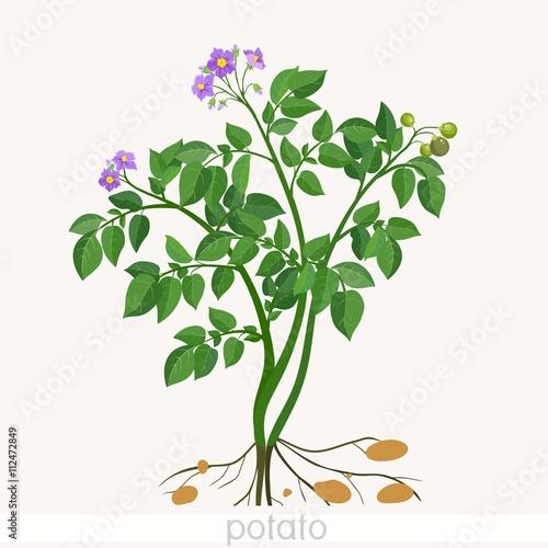 Fotografie, Obraz  Potato plant