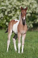 Nice paint foal