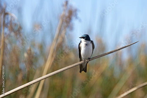Fotografie, Obraz  Tree Swallow, a migratory passerine bird, perched on a reed at the marsh