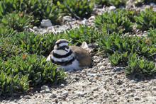 Killdeer Nesting On The Ground, Hiding In Plain Sight