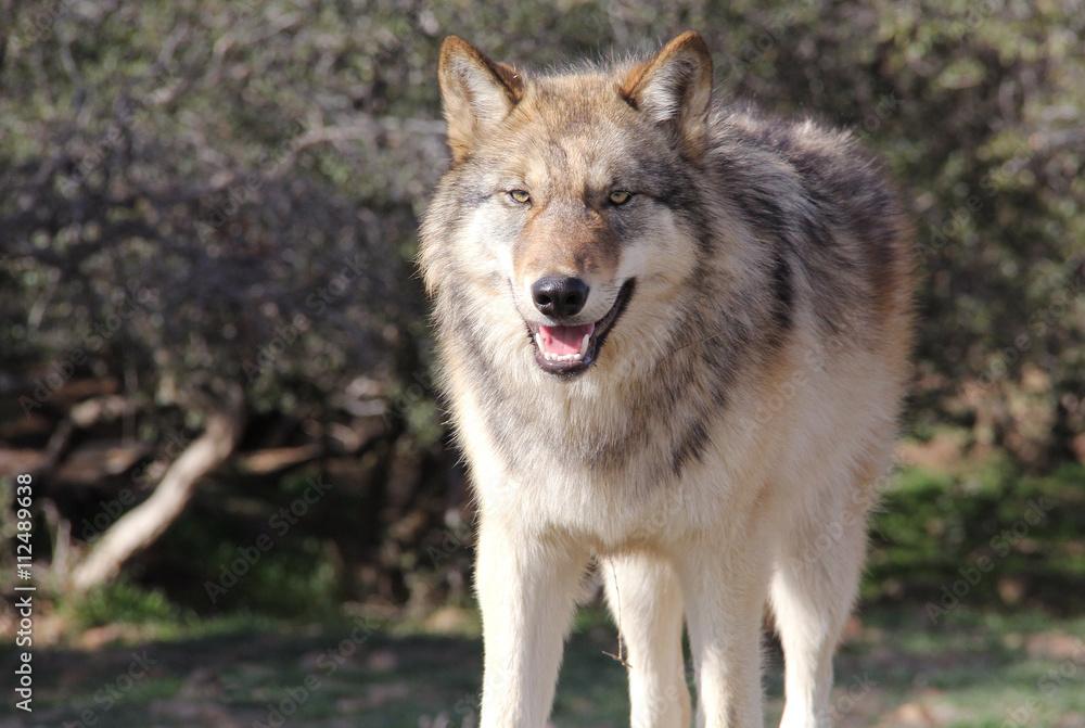 Fotografía Alaska Lobo gris | Europosters.es