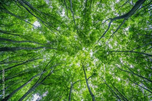 Summer Forest Canopy Fototapeta