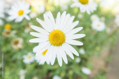 Fotografie, Obraz  白い花「クリサンセマム・パルドサム(別名:ノースポール)」