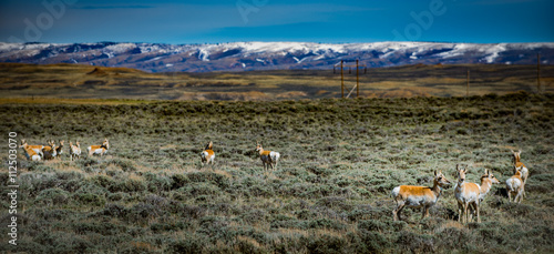 Prong Horn Antelope Wyoming USA