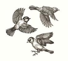 Три птицы в полёте, рисунок тушью. Синица, жаворонок, щегол.