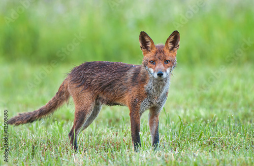 Photo  Red fox in a field