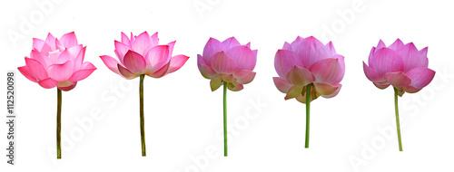 Montage in der Fensternische Lotosblume Lotus flower isolated on white background.