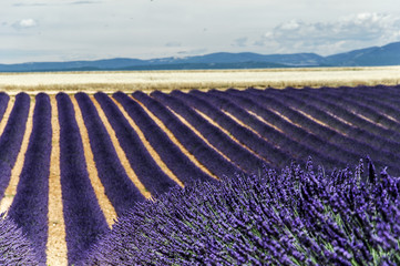 Panel Szklany LAVENDER FIELD