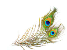 Colorful Pattern On Peacock Feather Isolated