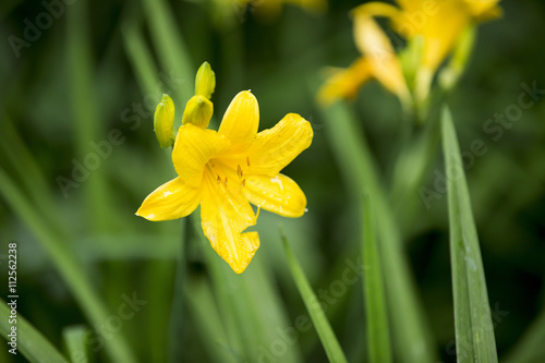 Garden Poster Narcissus Yellow daylily