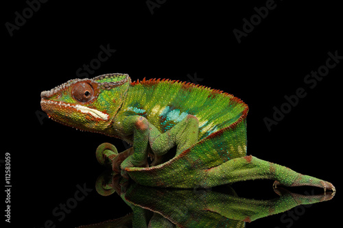 Funny Panther Chameleon, reptile with colorful body holds on his tail on Black Mirror, Isolated Background