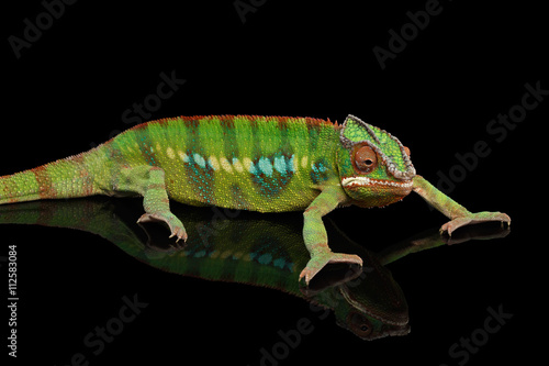 Staande foto Kameleon Panther chameleon, reptile with colorful body resting on Black Mirror, Isolated Background