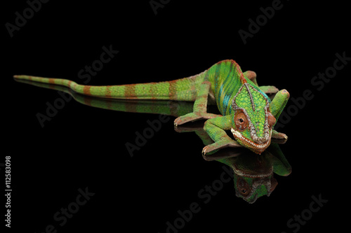 Staande foto Kameleon Panther chameleon resting on Black Mirror with tail , Isolated Background