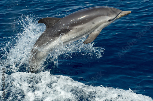 Tablou Canvas Dolphins while jumping in the deep blue sea