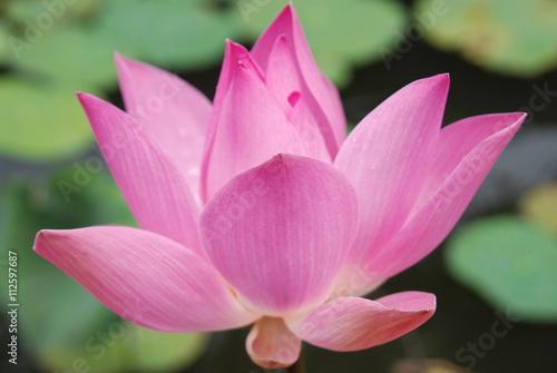 Foto op Aluminium Lotusbloem Blooming Lotus
