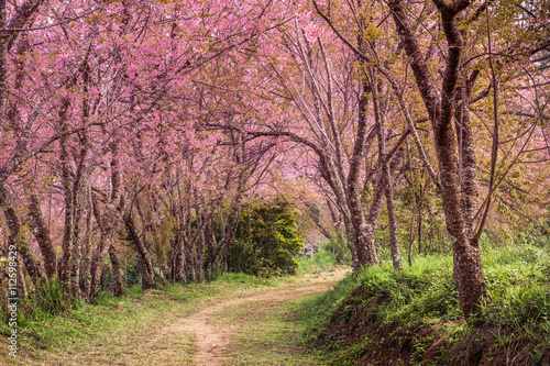 Foto op Canvas Weg in bos cherry blossom pink sakura in Thailand and a footpath leading in