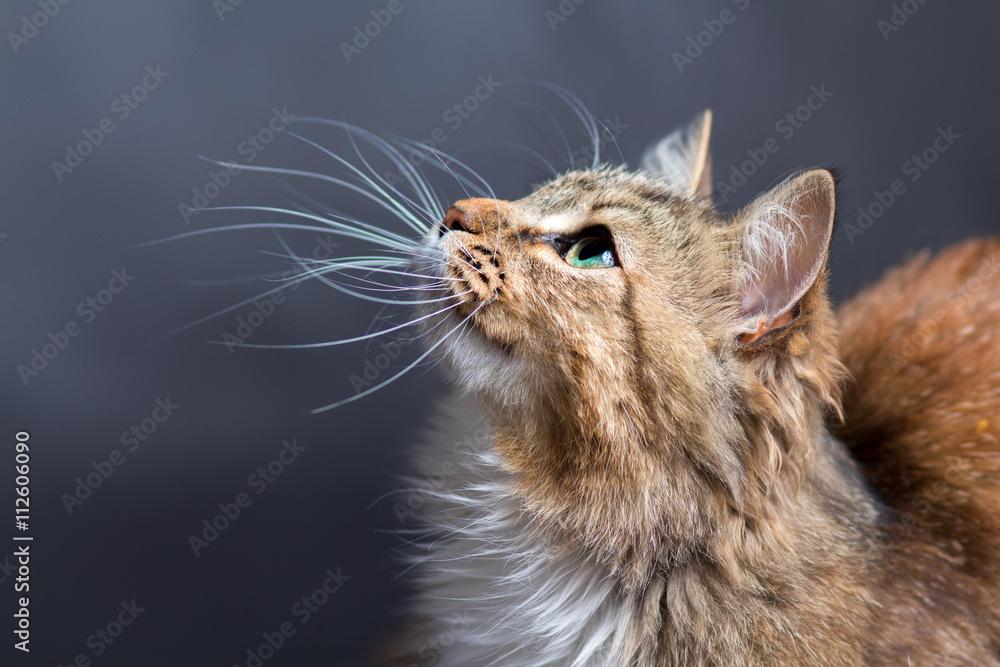 Fototapeta portrait of a beautiful cat