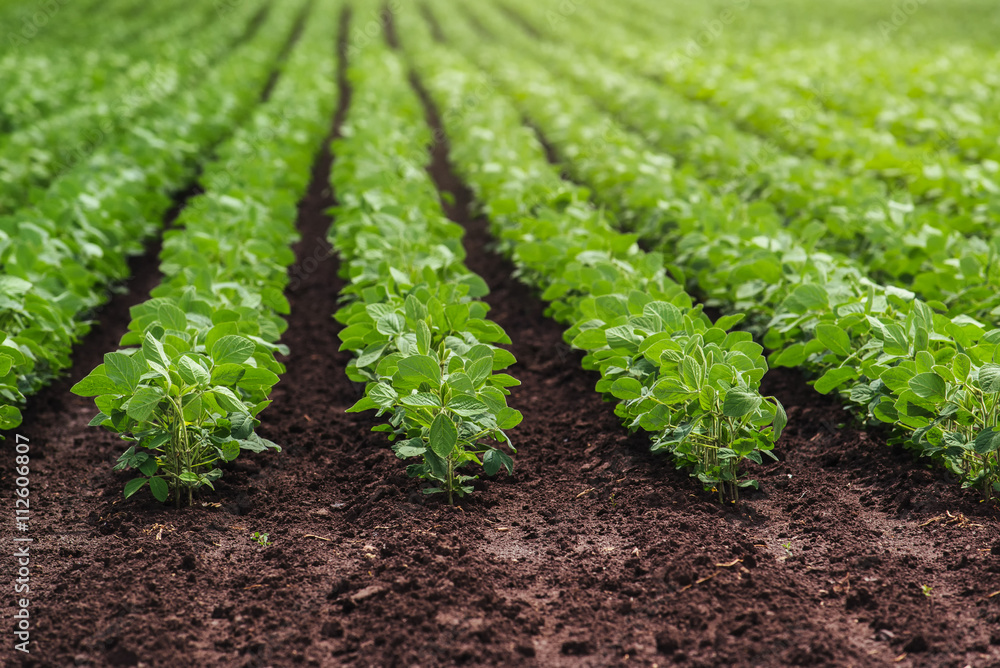 Fototapety, obrazy: Rows of cultivated soy bean crops