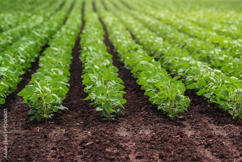 Rows of cultivated soy bean crops Fototapet