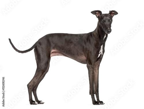 Italian Greyhound isolated on white Fototapet