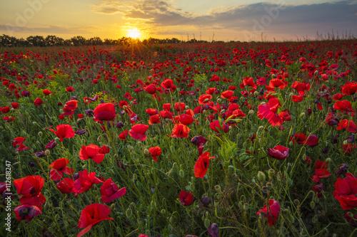 Fototapeta the field of poppies under sun in sunset time obraz na płótnie