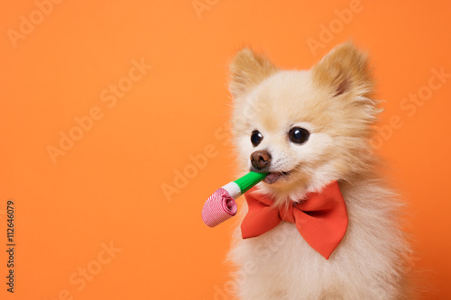 Photo  funny litllte dog at orange background