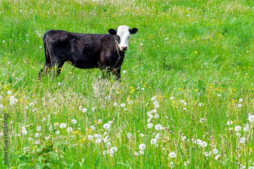фотография  Young calf on a green field