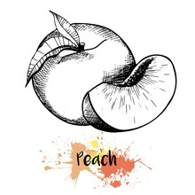 Vector Hand Drawn Illustration Of Peach Or Apricot Or Nectarine Fruit. Engraving Summer Fresh Fruit Isolated On White Background. For Cocktail, Smoothie, Desserts And Salsds.