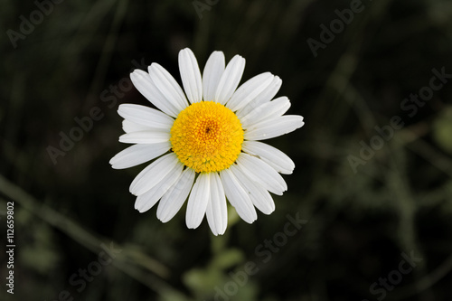 Daisies Grote madeliefje