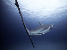 Shark Underwater In Sea