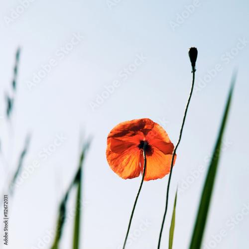 Red poppy flower on white background Poster