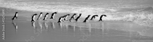 Rockhopper Penguins Line Up on the Beach