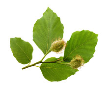 Beech Branch With Leaves And F...