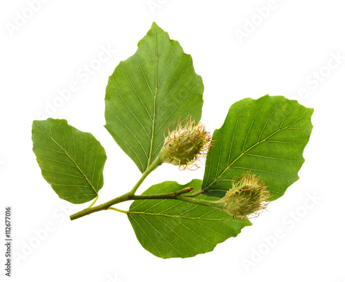 Tablou Canvas Beech branch with leaves and fruits