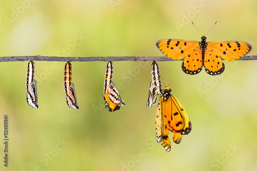 Staande foto Vlinder Life cycle of Tawny Coster transform from caterpillar to butterf